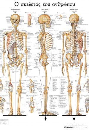 Ανατομικός χάρτης: ο σκελετός του ανθρώπου