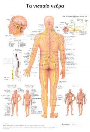 Ανατομικός χάρτης: τα νωτιαία νεύρα (1η εκδ.)